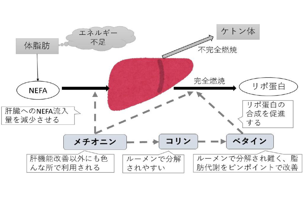 ベタインの脂肪肝に対する作用機構